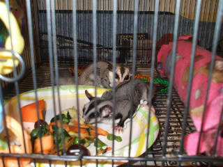 Staple Diets – Sugar Glider Info