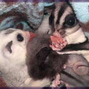 sugar gliders enjoying dried mango